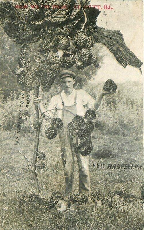 Exaggeration Raspberry Farm Agriculture Joliet Illinois Postcard Johnson 9512