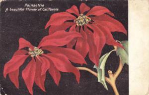 Poinsettia, A Beautiful Flower Of California, 1900-1910s