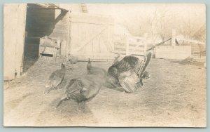 Real Photo Postcard~Farm Turkeys in Barnyard~Hens & Full Fan Tom~1908 RPPC
