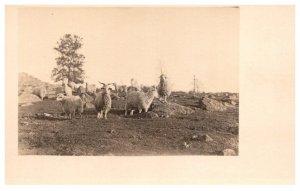 Sheep  Herd with Ram
