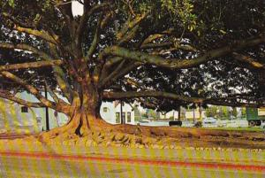 Moreton Bay Fig Tree Santa Barbara California