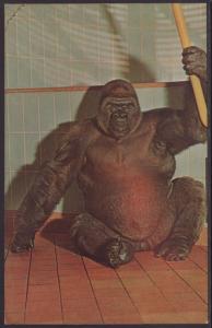 Lowland Gorilla Samson,Milwaukee Zoo,WI Postcard