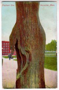 Elephant Elm, Worcester Mass