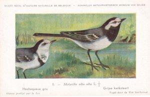 White Wagtail Motacilla Alba Rare WW2 Bird Postcard