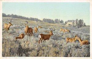 Deer Post Card Wild Elk Yellowstone National Park, Wyoming, USA Unused