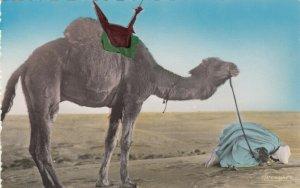 RP; MAROC , Africa , 1930s; Man & Camel, Last Prayer before Departure