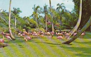 Florida Sarasota Flamingos At Sarasota Jungle Gardens 1977