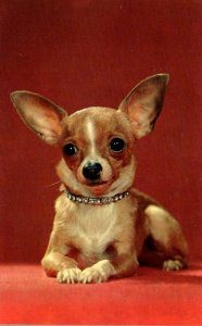Dogs Chihuahua