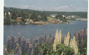 BF17973 lupines row wild throughout of nova scotia  canada front/back image