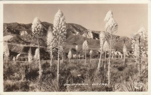 RP: California Yuccas , 1936 : FRASHERS Photo postcard