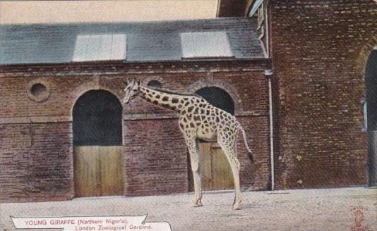 Young Giraffe Native To Northern Nigeria London Zoological Gardens