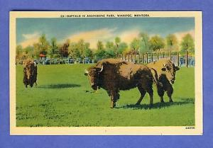 Winnipeg, Manitoba, Canada Postcard, Buffalo In Assiniboine Park