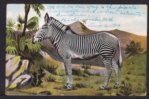 Zebra card - 1909 - Theochrom Klio Post Card
