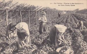 Das Veilchen - Pfluecken in den Grosskulturen der Union Florale , HYERES , Fr...