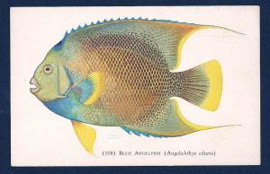 Blue Angelfish Shedd Aquarium unused c1932