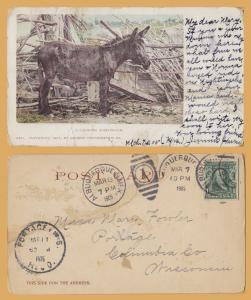 A Colorado Nightingale, Donkey - 1905