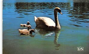 Swans Mother Swan & Cynets on Avon River Stratford, Ontario, Canada 1982