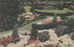 Azaleas in Full Bloom - Orton Plantation - Wilmington NC, North Carolina - Linen