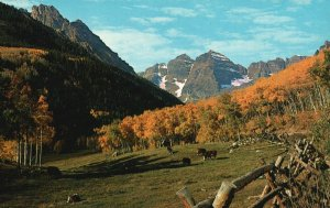 Colorado Rockies, CO, Maroon Bells, Aspen & Cattle, Vintage Postcard g9378