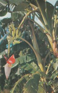 FLORIDA, 40-60s; Banana tree, bananas growing upwards