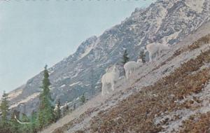 Sheep Mountain, White Dall Sheep, Mile 1060, Alaska Hiway, Yukon, Canada, 40-60s