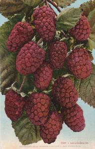 Loganberries Fruit by Edward Mitchell