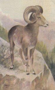 Harry F. Harvey ; Mountain Sheep , 00-10s