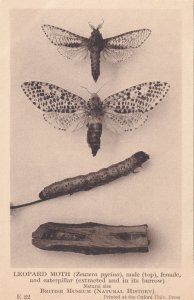 White Ant Soldier Queen Termes Bellicosus Antique Insect Postcard