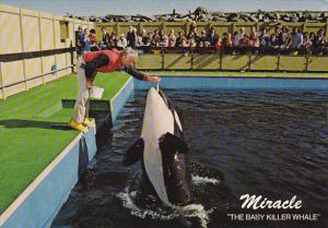 Miracle The Baby Killer Whale Sealand Of The Pacific Victoria British Columbi...