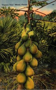 Florida Miami Papaya Tree Bearing Fruit