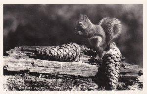California Sequoia National Park Douglass Squirrel Real Photo