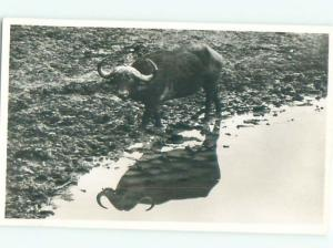 rppc Old LONGHORN COW STEER BY THE RIVER AC8781
