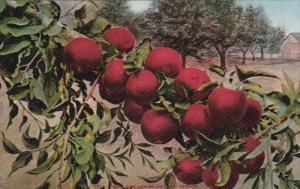 Red Apples Grown In OREGON, 1900-1910s