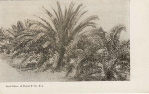 MOUND GROVE , Florida , 1901-07 ; Date Palms