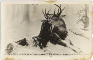 RPPC of After a Finish Fight, Bull Elk Locked, Idaho, ID