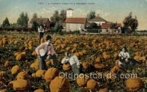 Pumpkin Field Farming Old Vintage Antique Postcard Post Card  Pumpkin Field