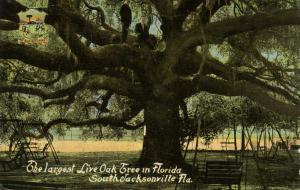 FL - South Jacksonville. Largest Live Oak Tree in Florida