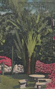 Florida St Petersburg Travelers Palm In Sunken Gardens 1955 Curteich