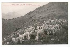 Pasturage of sheep,Kinugasa My in Unzen (National Park)Japan, 00-10s