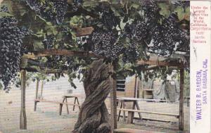Near SANTA BARBARA, California, 1900-1910's; Under The Largest Grape Vine In ...