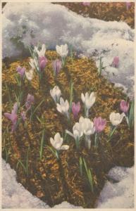 Spring Crocus Vintage Flowers Postcard