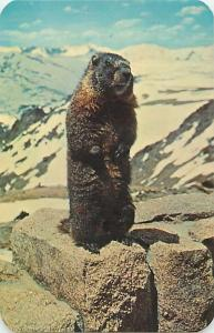 Marmat, Western Relative of the Woodchuck