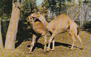 Canada Calgary Camels Hill & Hump The Calgary Zoo