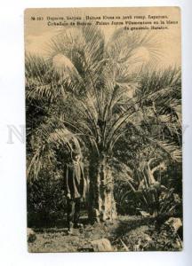 171181 Adjara Georgia BATUMI Yucca Palm BARATOV Vintage PC