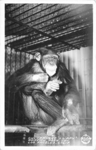 Chimpanzee Shippy Frasher Postcard Los Angeles California Zoo Griffith 12749