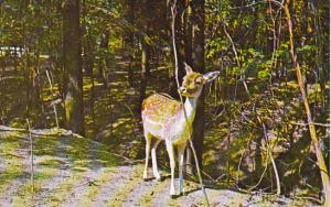 Deer at Gobblers Nob Zoo Farm Bloomingdale Indiana