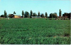 Antelope Valley California Fertile Farm Lands Postcard
