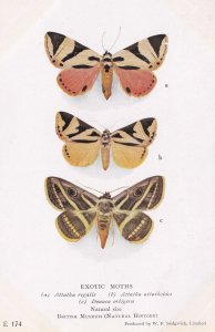 Attatha Regalis Sri Lankan Noctuidae Attathoides Exotic Moth Moths Postcard