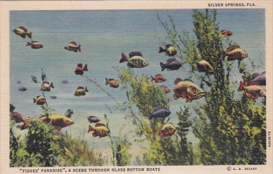 Florida Silver Springs Fishes Paradise Scene Through Glass Bottom Boats Curteich
