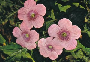 Large Pink Flowers - Bloom In Spring, 1950-1960s